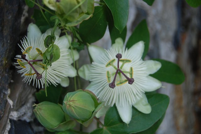 White passion flower.jpg