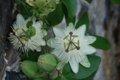 White passion flower.jpg