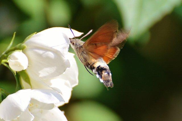 hummingbird-hawk-moth-807368.jpg