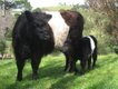 Cows-.jpg