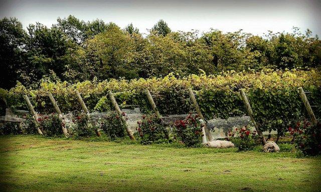 vineyard-188186_1920.jpg