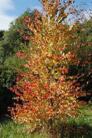 Cercidiphyllum (katsura tree).JPG