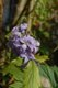 Clematis heracleifolia.JPG