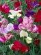 RX-DK-HTG22801_sweet-pea-bloom_s3x4.jpg.rend.hgtvcom.1280.1707.jpg