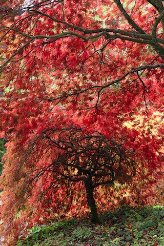 Backlit Acer palmatum Autumn