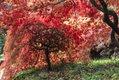Backlit Acer palmatum Autumn