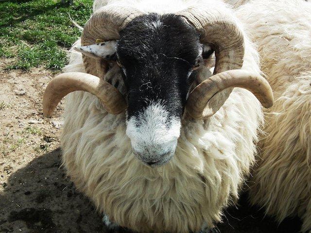 sheep-381051_1920.jpg