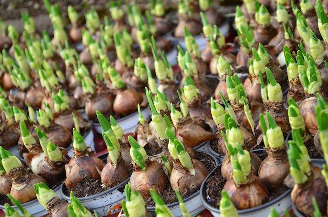flower bulbs.jpg