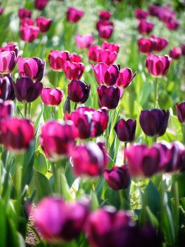 tulipa-366661_1920.jpg