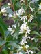 Sue Fisher - Jasmine.jpg