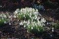 Snowdrop (Galanthus nivalis).JPG