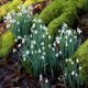 snowdrops-on-floor.jpg