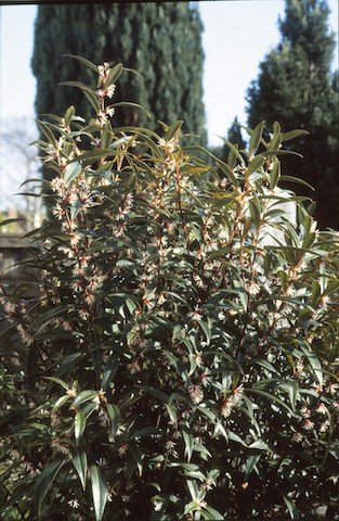 Winter box (Sarcococca).jpg