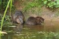 Beaver kits 2 (Mike Symes) 2.jpg