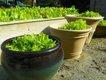 LettuceGarden.jpg