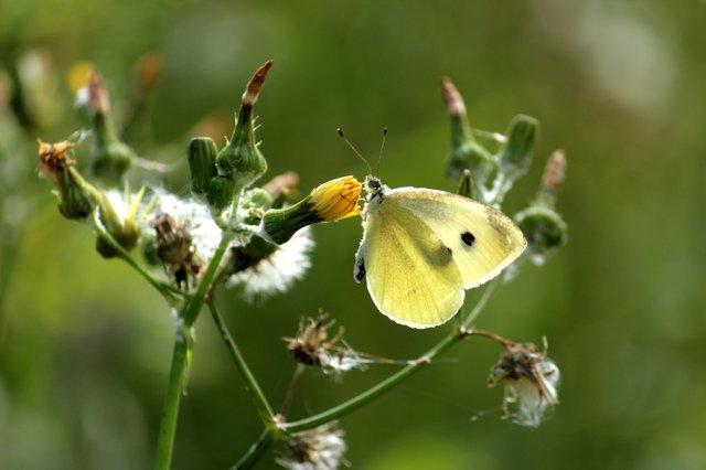Butterfly - Hero Garden.JPG