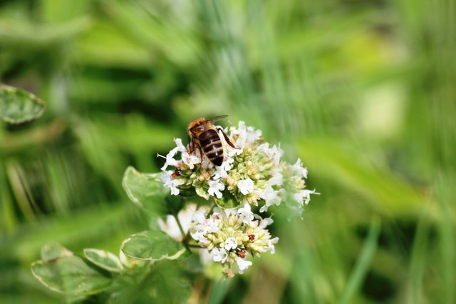 Honey Bee - Hero Garden.JPG