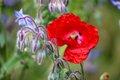 Poppy - Hero Garden.JPG