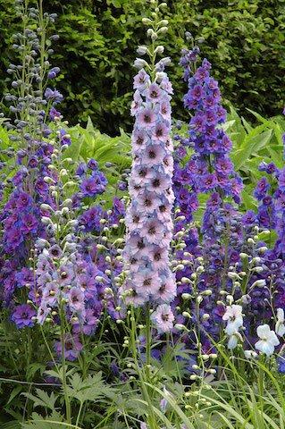 Delphinium - hardy perennials.jpg