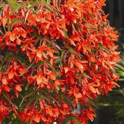 Trailing Begonia 'Inferno'.jpg