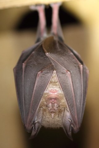 Greater Horseshoe Bat credMike Symes.JPG