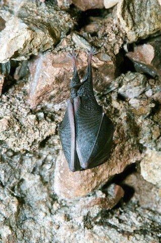 Lesser horseshoe bat, Rhinolophus hipposideros