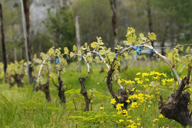 vines in early spring .jpg