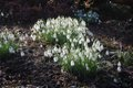Divide clumps of snowdrops as soon as flowering finishes.jpg