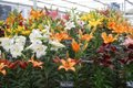 Lilies are excellent in tubs and should be planted now.jpg