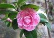 camellia-775873_1280.jpg