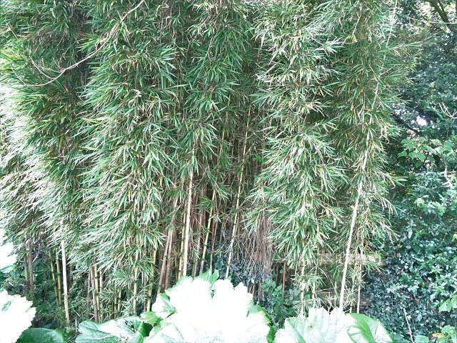 Chilean bamboo