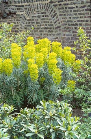 Euphorbia wulfeni.jpg