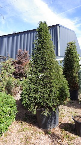 Large ready-grown plants can be bought - at a price..jpg