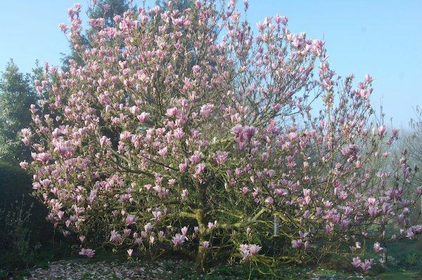 Magnolia soulangeana.jpg