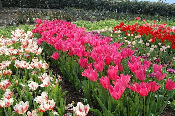Tulips at the Eden Project.jpg