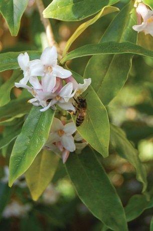 Bee feeding on daphne flowers