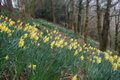 Narcissi growing in the Tamar Valley