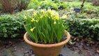 Narcissus Tete a Tete