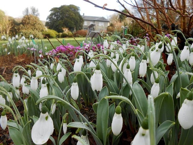 Galanthus elwesii 'Sickle' photographer Petra Hicks