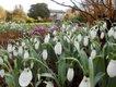 Galanthus elwesii 'Sickle' photographer Petra Hicks