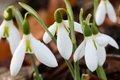 Galanthus elwesii Yvonne Hay