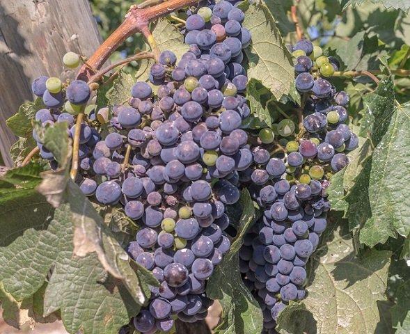 grapes-1618304_preview.jpeg
