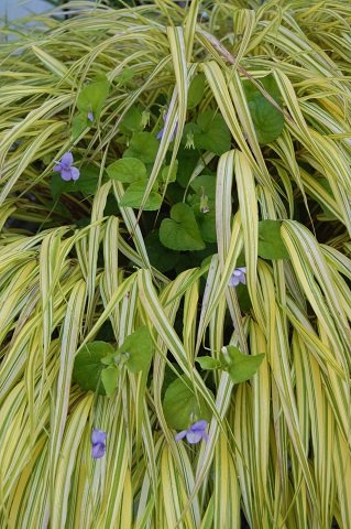 Japanese golden grass (Hakonechloa)