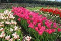 Tulips at the Eden Project