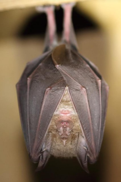 Greater Horsehoe bat Mike Symes