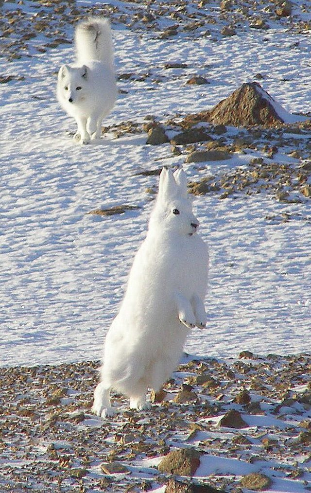 Arctic Hare and Arctic Fox