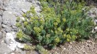 Euphorbia growing on Mallorcan mountainside