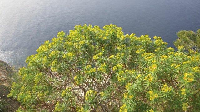 Euphorbia on sea cliff, Mallorca