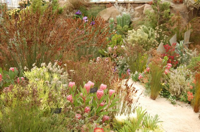South African plants at Chelsea Flower Show
