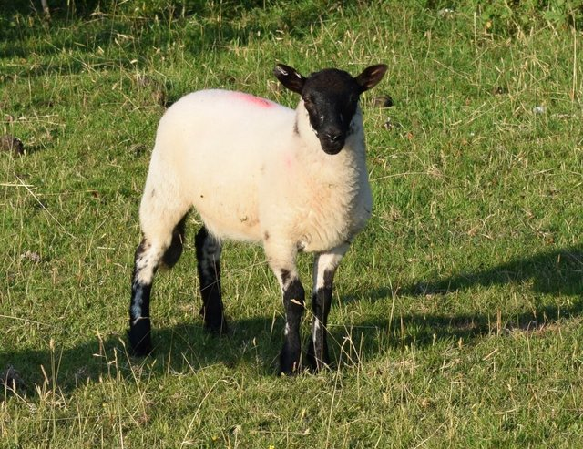 Whitchurch  and  Sampford  Spiney  Sheep  Dog  Trials  and  Family  Dog  Show